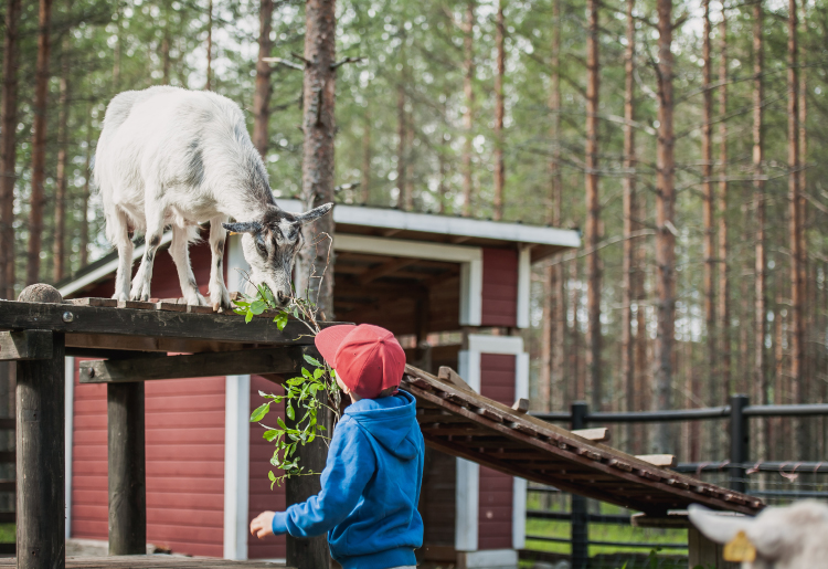 Lapsi syöttää rampin päällä seisovalle vuohelle puunoksaa aitauksessa