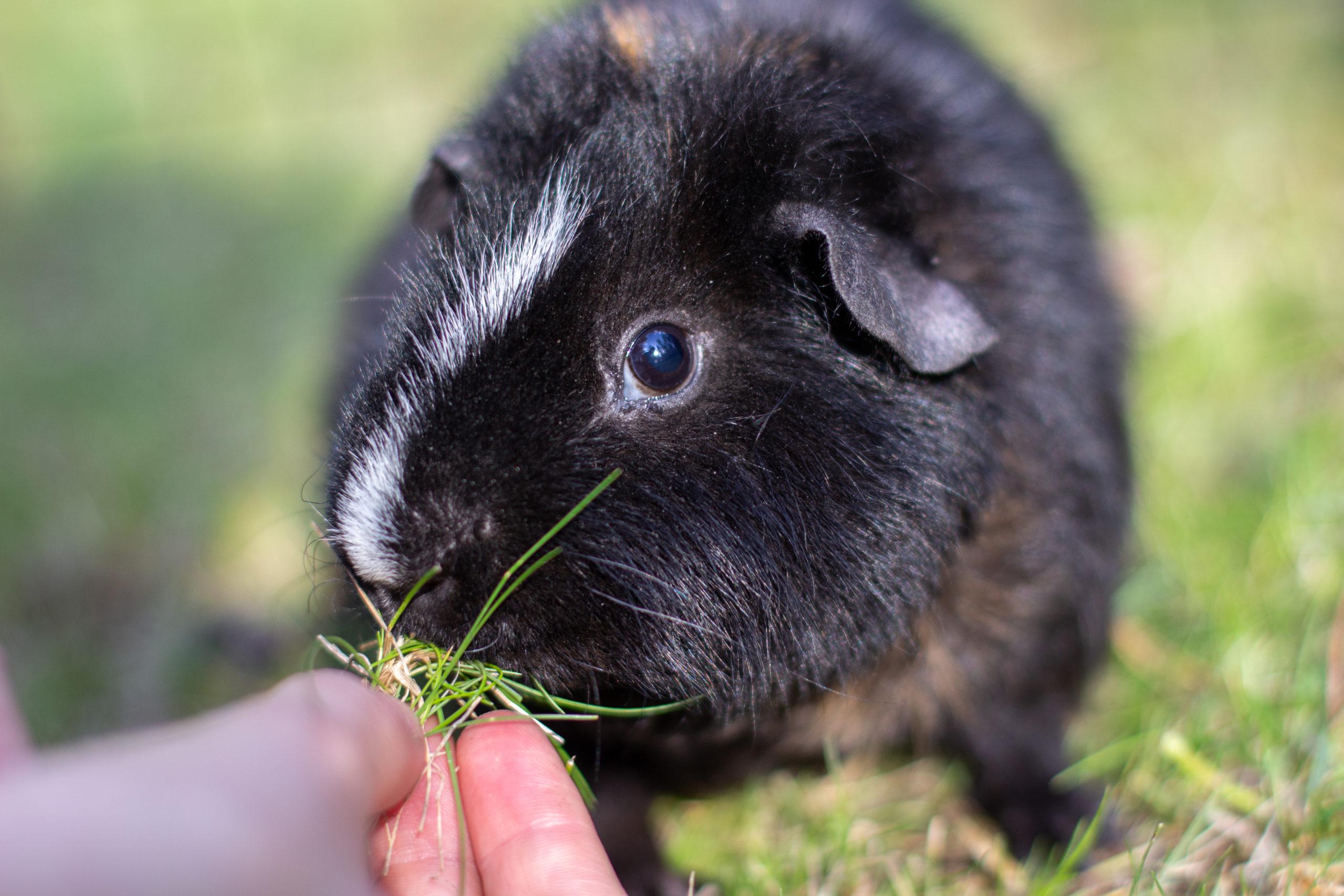 Musta marsu syö ruohoa